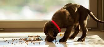 Come evitare che il cane mangi troppo velocemente, alcuni consigli utili