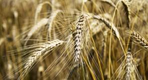 Intolleranza al glutine? Prova i grani antichi