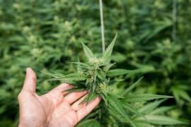 Cannabis legale: cosa prevede la legge italiana